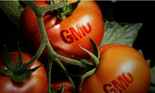 sinh vat bien doi gen GMO